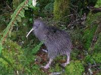 njp-kiwi